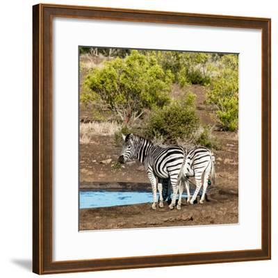 Awesome South Africa Collection Square - Two Burchell's Zebras III-Philippe Hugonnard-Framed Photographic Print