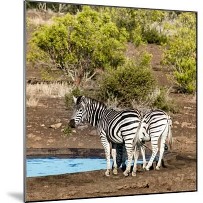 Awesome South Africa Collection Square - Two Burchell's Zebras III-Philippe Hugonnard-Mounted Photographic Print