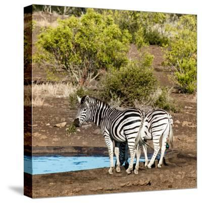 Awesome South Africa Collection Square - Two Burchell's Zebras III-Philippe Hugonnard-Stretched Canvas Print