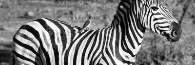 Awesome South Africa Collection Panoramic - Redbilled Oxpecker on Burchell's Zebra III B&W-Philippe Hugonnard-Framed Photographic Print
