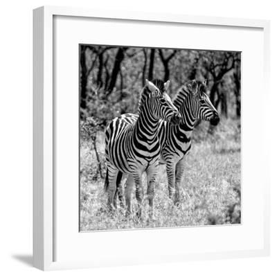Awesome South Africa Collection Square - Two Burchell's Zebras B&W-Philippe Hugonnard-Framed Photographic Print