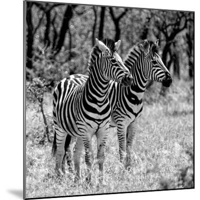 Awesome South Africa Collection Square - Two Burchell's Zebras B&W-Philippe Hugonnard-Mounted Photographic Print