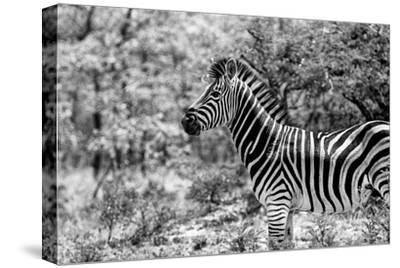 Awesome South Africa Collection B&W - Portrait of Burchell's Zebra I-Philippe Hugonnard-Stretched Canvas Print