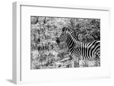 Awesome South Africa Collection B&W - Portrait of Burchell's Zebra I-Philippe Hugonnard-Framed Photographic Print