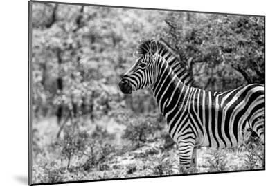 Awesome South Africa Collection B&W - Portrait of Burchell's Zebra I-Philippe Hugonnard-Mounted Photographic Print