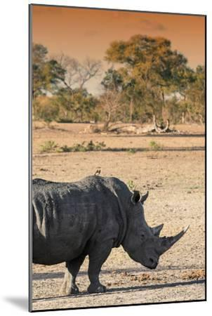 Awesome South Africa Collection - Black Rhinoceros and Savanna Landscape at Sunset I-Philippe Hugonnard-Mounted Photographic Print