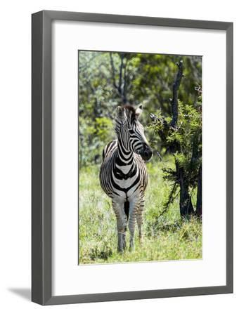 Awesome South Africa Collection - Burchell's Zebra I-Philippe Hugonnard-Framed Photographic Print