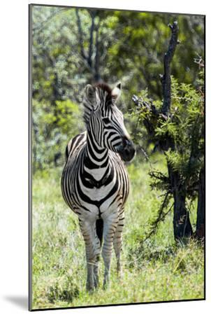 Awesome South Africa Collection - Burchell's Zebra I-Philippe Hugonnard-Mounted Photographic Print