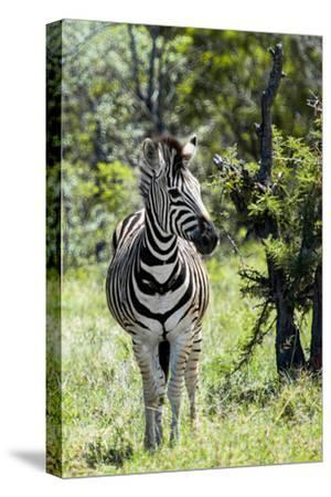 Awesome South Africa Collection - Burchell's Zebra I-Philippe Hugonnard-Stretched Canvas Print