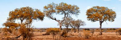 Awesome South Africa Collection Panoramic - Acacia Trees on Savannah II-Philippe Hugonnard-Framed Photographic Print