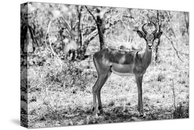 Awesome South Africa Collection B&W - Impala Antelope Portrait-Philippe Hugonnard-Stretched Canvas Print