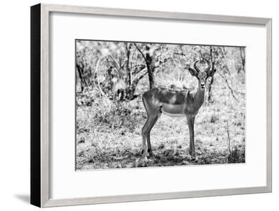Awesome South Africa Collection B&W - Impala Antelope Portrait-Philippe Hugonnard-Framed Photographic Print