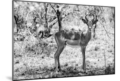 Awesome South Africa Collection B&W - Impala Antelope Portrait-Philippe Hugonnard-Mounted Photographic Print