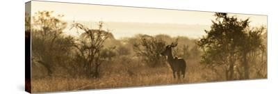 Awesome South Africa Collection Panoramic - Impala Sunrise-Philippe Hugonnard-Stretched Canvas Print