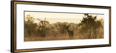 Awesome South Africa Collection Panoramic - Impala Sunrise-Philippe Hugonnard-Framed Photographic Print