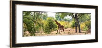 Awesome South Africa Collection Panoramic - Giraffe in the Savanna-Philippe Hugonnard-Framed Photographic Print