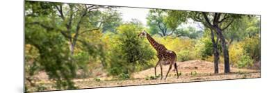 Awesome South Africa Collection Panoramic - Giraffe in the Savanna-Philippe Hugonnard-Mounted Photographic Print