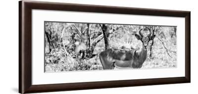 Awesome South Africa Collection Panoramic - Impala Portrait B&W-Philippe Hugonnard-Framed Photographic Print