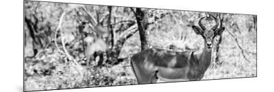 Awesome South Africa Collection Panoramic - Impala Portrait B&W-Philippe Hugonnard-Mounted Photographic Print