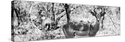 Awesome South Africa Collection Panoramic - Impala Portrait B&W-Philippe Hugonnard-Stretched Canvas Print