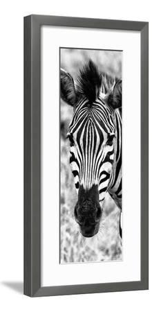 Awesome South Africa Collection Panoramic - Close-up Zebra Portrait B&W-Philippe Hugonnard-Framed Photographic Print