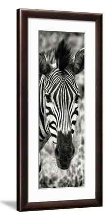 Awesome South Africa Collection Panoramic - Close-up Zebra Portrait II-Philippe Hugonnard-Framed Photographic Print