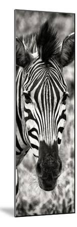 Awesome South Africa Collection Panoramic - Close-up Zebra Portrait II-Philippe Hugonnard-Mounted Photographic Print