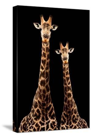 Safari Profile Collection - Two Giraffes Black Edition-Philippe Hugonnard-Stretched Canvas Print