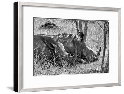 Awesome South Africa Collection B&W - Two White Rhino slepping-Philippe Hugonnard-Framed Photographic Print