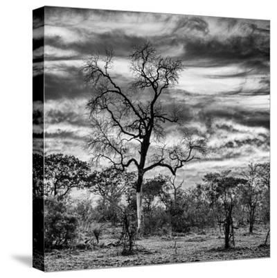 Awesome South Africa Collection Square - Acacia Tree in Savannah II-Philippe Hugonnard-Stretched Canvas Print
