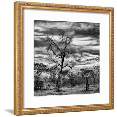 Awesome South Africa Collection Square - Acacia Tree in Savannah II-Philippe Hugonnard-Framed Photographic Print
