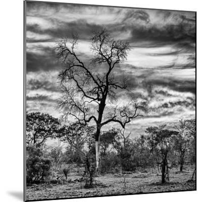 Awesome South Africa Collection Square - Acacia Tree in Savannah II-Philippe Hugonnard-Mounted Photographic Print