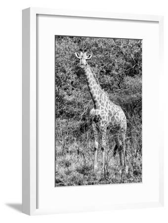 Awesome South Africa Collection B&W - African Giraffe IV-Philippe Hugonnard-Framed Photographic Print