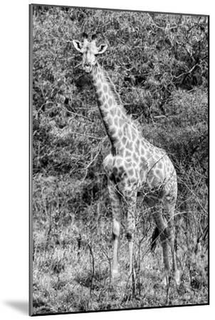 Awesome South Africa Collection B&W - African Giraffe IV-Philippe Hugonnard-Mounted Photographic Print