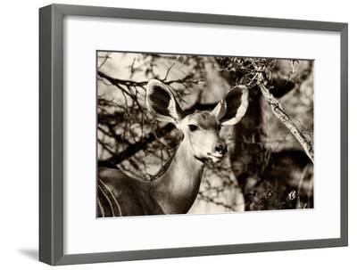 Awesome South Africa Collection B&W - Portrait of Nyala Antelope-Philippe Hugonnard-Framed Photographic Print