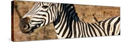 Awesome South Africa Collection Panoramic - Redbilled Oxpecker on Burchell's Zebra V-Philippe Hugonnard-Stretched Canvas Print