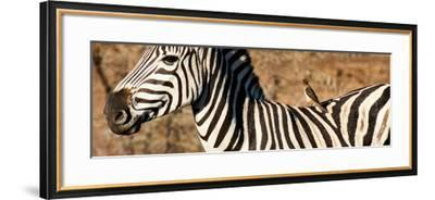 Awesome South Africa Collection Panoramic - Redbilled Oxpecker on Burchell's Zebra V-Philippe Hugonnard-Framed Photographic Print