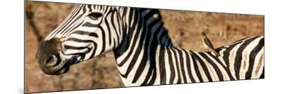 Awesome South Africa Collection Panoramic - Redbilled Oxpecker on Burchell's Zebra V-Philippe Hugonnard-Mounted Photographic Print