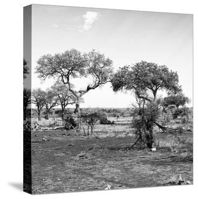 Awesome South Africa Collection Square - African Landscape with Acacia Trees B&W-Philippe Hugonnard-Stretched Canvas Print