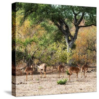 Awesome South Africa Collection Square - Herd of Impalas-Philippe Hugonnard-Stretched Canvas Print
