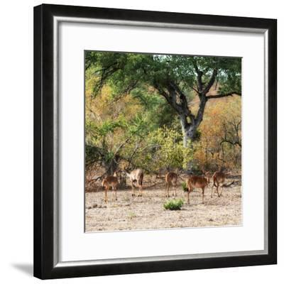 Awesome South Africa Collection Square - Herd of Impalas-Philippe Hugonnard-Framed Photographic Print