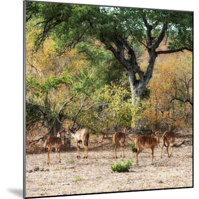 Awesome South Africa Collection Square - Herd of Impalas-Philippe Hugonnard-Mounted Photographic Print