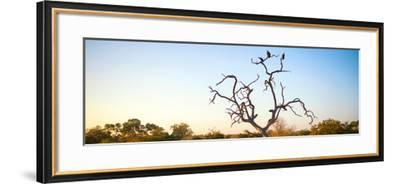 Awesome South Africa Collection Panoramic - Cape Vulture Tree at Sunset-Philippe Hugonnard-Framed Photographic Print