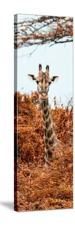 Awesome South Africa Collection Panoramic - Curious Giraffe with Red Savanna II-Philippe Hugonnard-Stretched Canvas Print