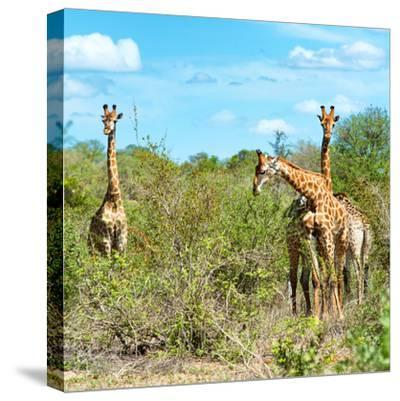 Awesome South Africa Collection Square - Herd of Giraffes-Philippe Hugonnard-Stretched Canvas Print