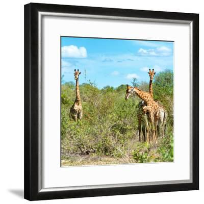 Awesome South Africa Collection Square - Herd of Giraffes-Philippe Hugonnard-Framed Photographic Print