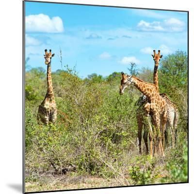 Awesome South Africa Collection Square - Herd of Giraffes-Philippe Hugonnard-Mounted Photographic Print