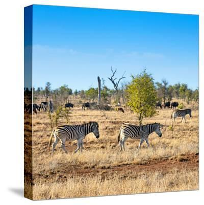 Awesome South Africa Collection Square - Herd of Zebra-Philippe Hugonnard-Stretched Canvas Print