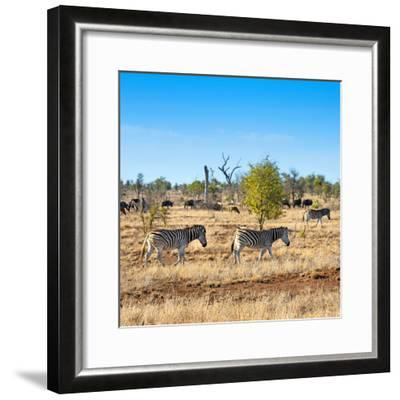 Awesome South Africa Collection Square - Herd of Zebra-Philippe Hugonnard-Framed Photographic Print
