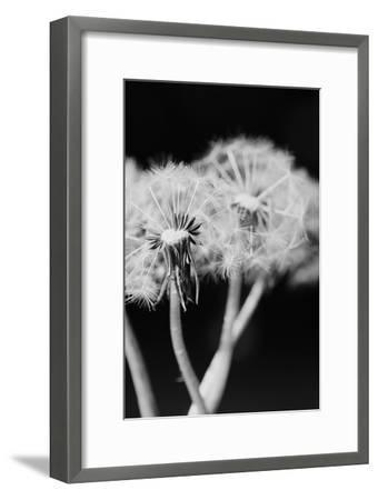 Dandelions--Framed Art Print